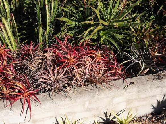 Dyckia comes in many colours which seem to intensify in colder weather