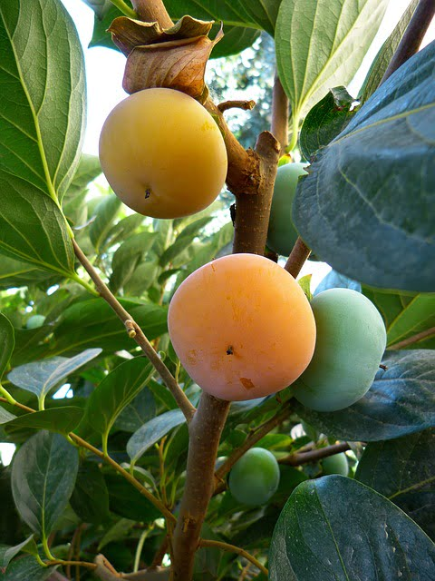 how to grow and eat persimmon gardendrum. Black Bedroom Furniture Sets. Home Design Ideas