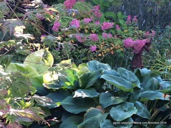 Hydrangea 'Quick Fire', Hosta 'Blue Angel', Hosta 'Sum and Substance', Acer 'Filisfolium'