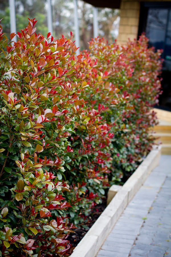 Syzygium 39 big red 39 lilly pilly has big impact gardendrum for Lilly pilly shrub