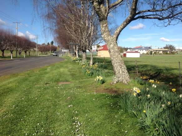 Roadside daffodils are a feature of spring in Tasmanian. These welcome you to Sheffield