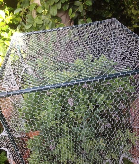 Netted blueberries
