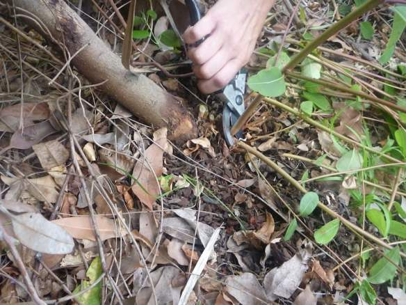 Pruning off rootstock suckers