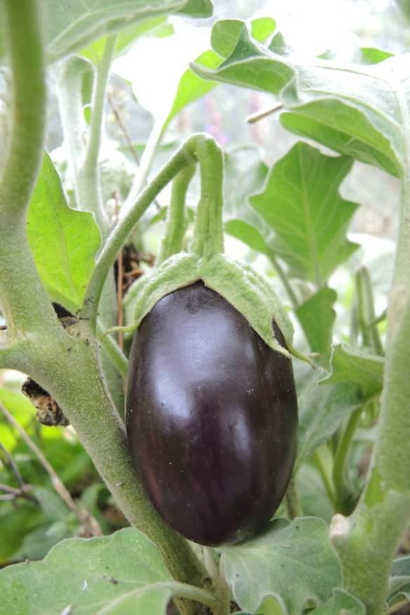 Eggplant Bonica