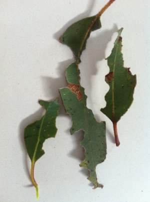 Gum leaves chewed by spiny leaf insects