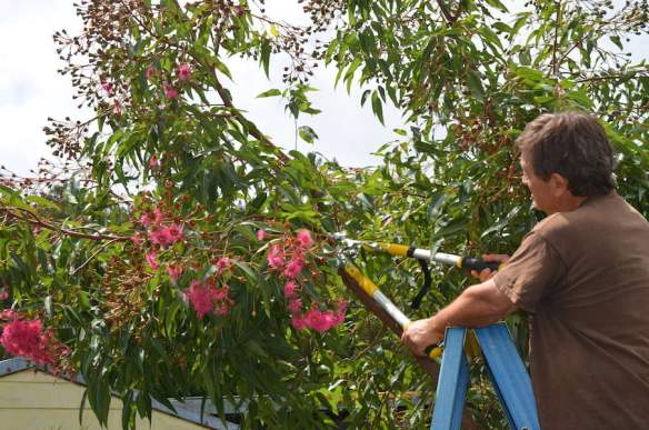 How to prune a flowering gum