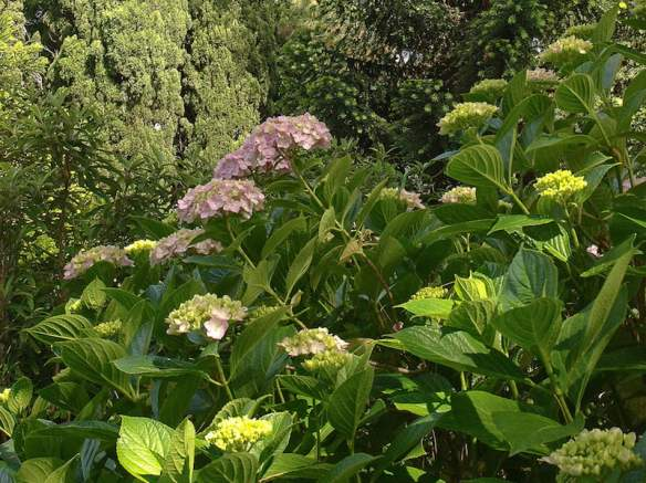 Old photographs showed Hydrangeas on the south side of the house. Image Anne Vale