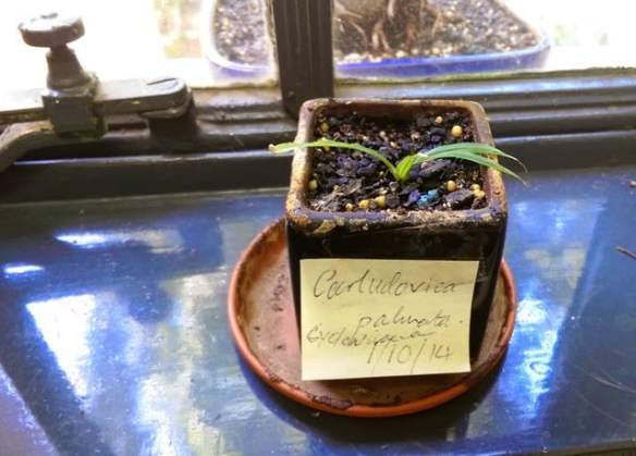Window sill seedling of Carludovica palmata is from the office of Frank Udovicic, at the Royal Botanic Gardens Melbourne, who drew this plant to my attention