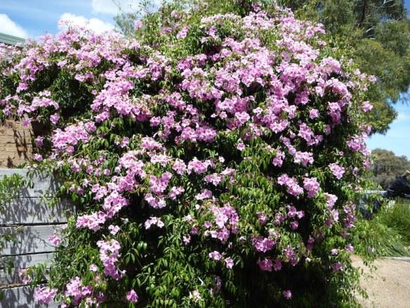 Pandorea jasminoides growing as a climber
