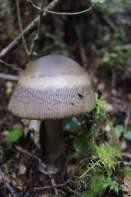 Gilled agaric mushroom