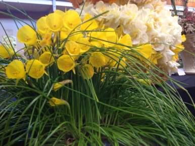 Miniature 'hoop petticoat' daffodils