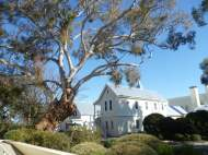 Aged eucalypt at Government House Canberra