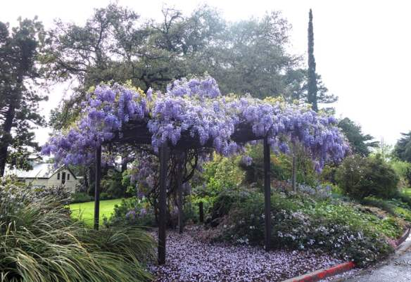 Wisteria covered pergola provides access through the Kirkhope rockery to what was the bull paddock: photo Anne Vale