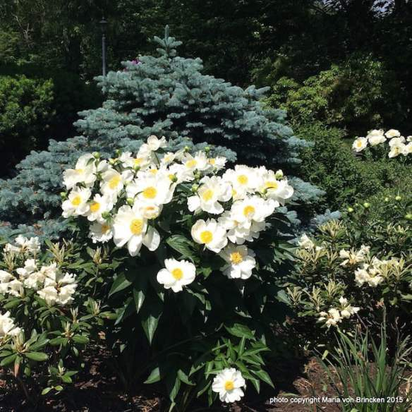 White peonies look amazing with this blue spruce