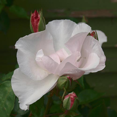 The modern roses were replaced with a collection of old fashioned and species roses (Anne Vale)