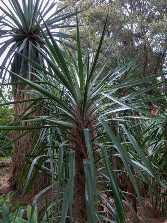 Burnley Part 4-13 Yucca faxoniana R