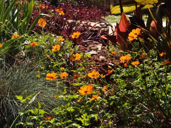 Tough as old boots orange cosmos self-seeds in the garden