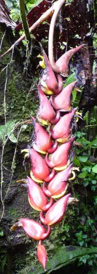 Heliconia fragilis