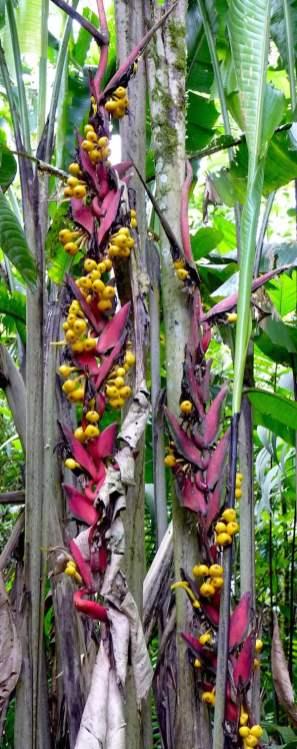 Helconia lozanoi keeps no secrets
