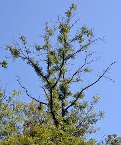 Chalara dieback on ash tree Photo Jonas Barandun