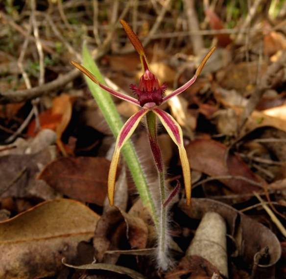 Orchids of the Stirling Ranges Western Australia5