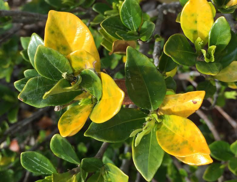 Why has my plant got yellow leaves gardendrum yellow leaves on gardenia mightylinksfo