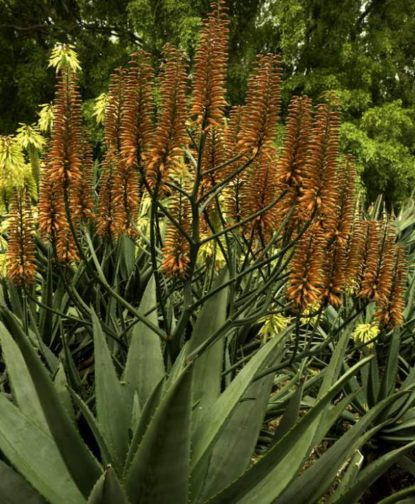 Aloe 'Outback Orange' adds a splash of colour to the Swan St planting design