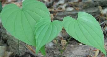 Yam plant, Oxalis tuberosa