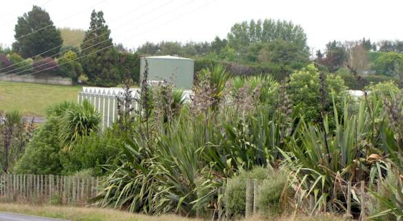 Using New Zealand native plants for an informal screening along the road