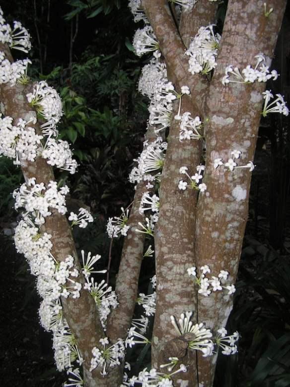 Phaleria clerodendron flowering