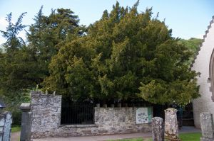 Fortingall Yew in Scotland in 2011 Photo Paul Hermans