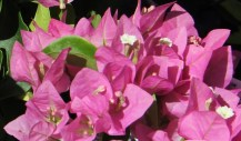 The pale pink bracts of Bougainvillea 'Vera Pink'