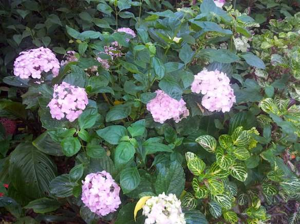 Hydrangea macrophylla copes well with high humidity