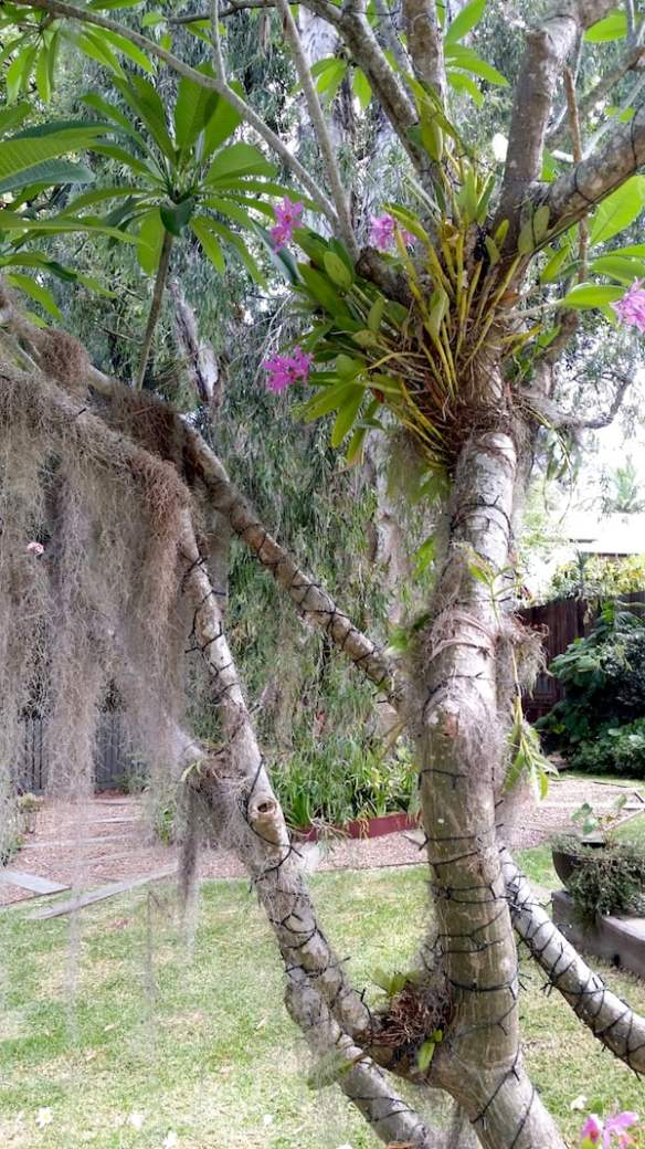 Specialist plants such as many orchids and tillandsias (including this Old Man's Beard) are so efficient at drawing their water from the air that their roots are adapted for anchorage only and high humidity is essential to them