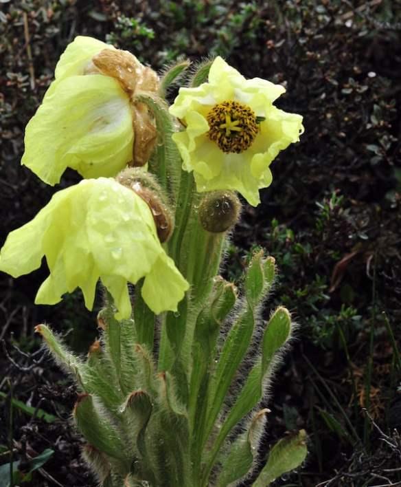 Yunnan poppy