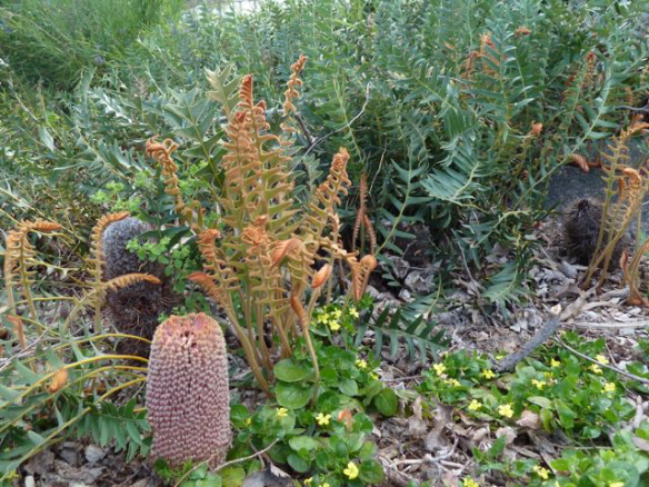Banksia blechnifolia, a beautiful ground-hugging banksia from Western Australia, growing at Burnley Gardens in Melbourne – this makes a great living mulch and adds textural and colour interest to any garden. Photo: Heather Miles