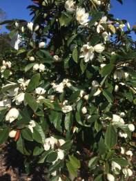 Magnolia 'Cream Fairy'