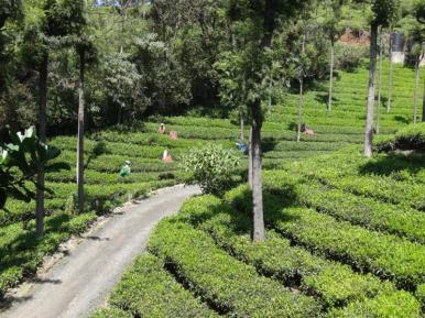 Neat rows of clipped Camellia sinensis used for Nilgiri tea