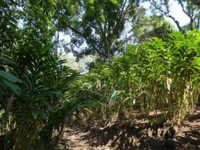Lovely leafy cardamom at Munnar.