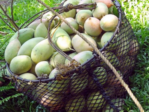 Basket of mangoes from the tree