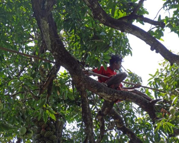 The mango picker perched on the branch, high up the tree.