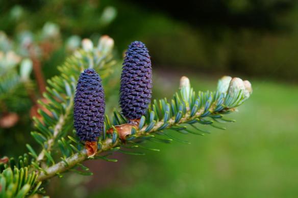 Pine cones_900x599