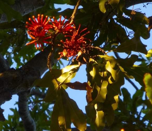 Firewheel tree, Stenocarpus sinuatus at Callan Park