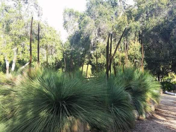 Grove of grass trees in the Australian Garden at Taft-Ojai Gardens