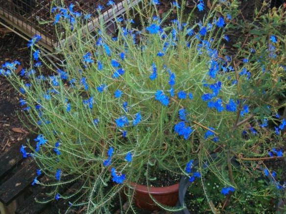 Lechenaultia biloba, a stunning blue flower on an open shrub, generally about half a metre high. Photo by Brian Roach.