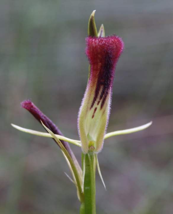 Cryptostylis hunteriana (Leafless Tongue Orchid) has a very prominent hairy labellum