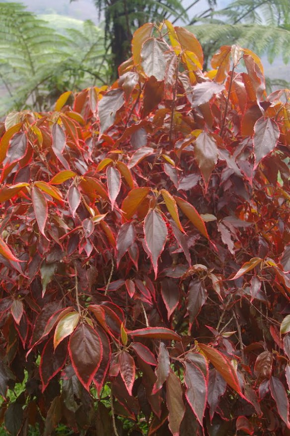 Acalypha 'Marginata' is probably the most cultivated of the acalyphas