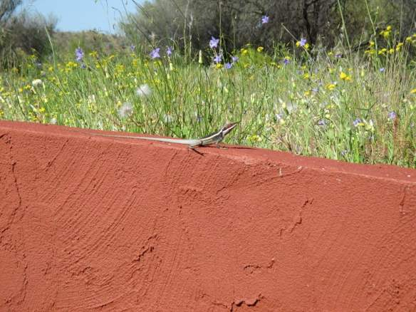 Is this a picture of a lizard or of blooming native Australian bluebells and daisies?