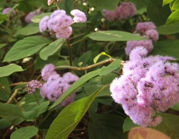 Euphatorium megaphyllum hydrangea look-alike