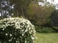 May Bush, a tough Hydrangea look-alike